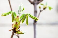 Folhas verdes novas da árvore do conker na mola Fotografia de Stock Royalty Free