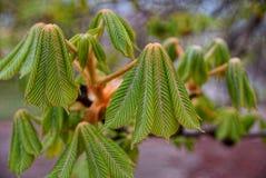 Folhas verdes, novas da castanha no parque fotografia de stock