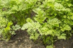 Folhas verdes novas das cenouras e dos verdes em um solo do fundo no jardim, foco seletivo, agricultura Imagem de Stock