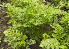 Folhas verdes novas das cenouras e dos verdes em um solo do fundo no jardim, foco seletivo, agricultura Fotos de Stock