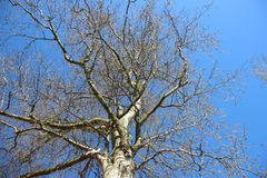 Folhas verdes novas de Forest One Big Tree Budding na primavera fotos de stock royalty free
