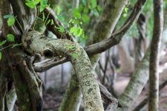 Folhas verdes novas em ramos de árvore grandes, natureza imagem de stock