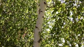 Folhas verdes novas ensolaradas da mola da árvore de vidoeiro, fundo sazonal do eco natural com espaço da cópia vídeos de arquivo