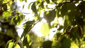 Folhas verdes novas ensolaradas da mola da árvore de vidoeiro, fundo sazonal do eco natural com espaço da cópia filme