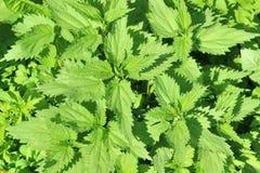 Folhas verdes novas luxúrias da provocação pungente Imagem de Stock