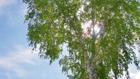 Folhas verdes novas no vidoeiro Vista inferior vídeos de arquivo