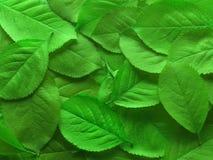 Folhas verdes suculentas fotografia de stock