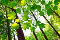 Folhas verdes vibrantes da mola na floresta Fotografia de Stock