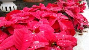 Folhas vermelhas Fotos de Stock