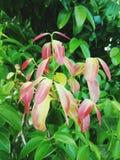 Folhas vermelhas Foto de Stock