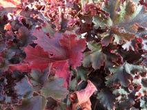Folhas vermelhas Foto de Stock Royalty Free