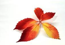 Folhas vermelhas Fotografia de Stock