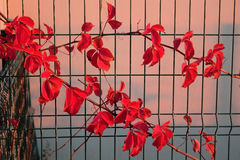 Folhas vermelhas Imagem de Stock Royalty Free