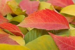 Folhas vermelhas, amarelas e verdes do outono Imagens de Stock