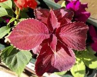 Folhas vermelhas bonitas do coleus Fotos de Stock Royalty Free