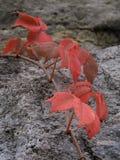Folhas vermelhas brilhantes drapejadas sobre a superfície da rocha foto de stock royalty free