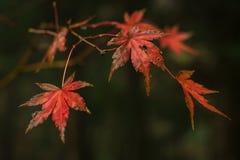 Folhas vermelhas da árvore de bordo japonês fotografia de stock