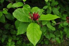 Folhas vermelhas da flor e do verde do spicebush de Carolina Fotografia de Stock