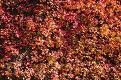 Folhas vermelhas da hera de escalada na luz solar do outono foto de stock