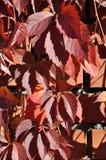 Folhas vermelhas da hera em uma parede de tijolo fotografia de stock