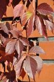 Folhas vermelhas da hera em uma parede de tijolo imagens de stock