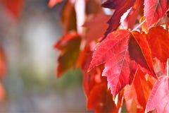 Folhas vermelhas da queda Imagem de Stock Royalty Free