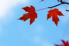 Folhas vermelhas da queda Foto de Stock