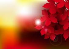 Folhas vermelhas da videira Fotos de Stock