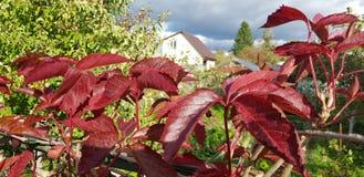 Folhas vermelhas das uvas em um ramo fotografia de stock royalty free