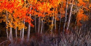 Folhas vermelhas de Aspen Fotos de Stock Royalty Free