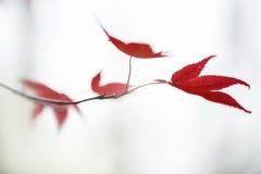Folhas vermelhas do acer do acer japonês Foto de Stock Royalty Free