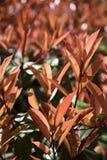 Folhas vermelhas do arbusto Imagens de Stock Royalty Free