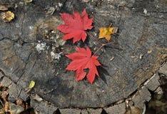 Folhas vermelhas do bordo 2 Fotos de Stock Royalty Free