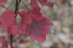Folhas vermelhas do carvalho de veneno Imagens de Stock Royalty Free