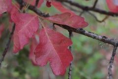 Folhas vermelhas do carvalho de veneno Fotos de Stock