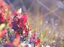 Folhas vermelhas do mirtilo imagens de stock royalty free