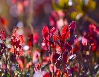 Folhas vermelhas do mirtilo imagem de stock