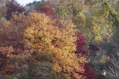 Folhas vermelhas do verde amarelo do outono Fotografia de Stock