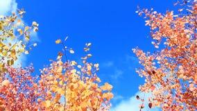 Folhas vermelhas dos álamos tremedores no outono video estoque