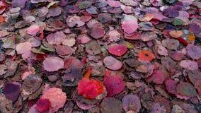 Folhas vermelhas, textura do fundo Imagens de Stock Royalty Free