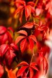 folhas Vermelho-alaranjadas de uvas selvagens em um dia morno do outono fotografia de stock royalty free