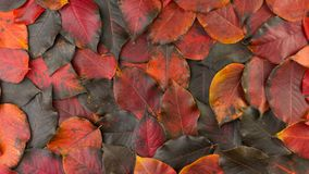 Folhas vermelho-pretas caídas do outono filme