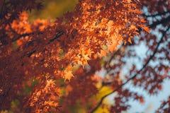 Folhas vibrantes de Autumn Maple do japonês Fotografia de Stock