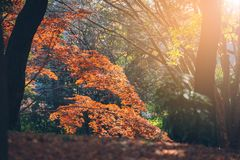 Folhas vibrantes de Autumn Maple do japonês Foto de Stock Royalty Free