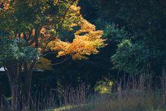 Folhas vibrantes de Autumn Maple do japonês Fotos de Stock