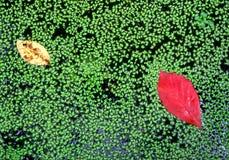 Folhas vibrantes que flutuam na água Fotografia de Stock