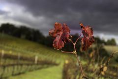 Folhas Viny Imagem de Stock Royalty Free