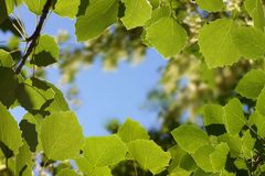 Foliage. Sheet of the aspen at sunshines Stock Photography