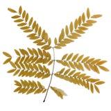 Foliage. Dried Honey-locust foliage on white Royalty Free Stock Photography