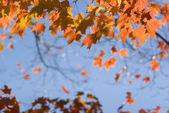 Foliage. Colorful foliage under blue sky Royalty Free Stock Photography